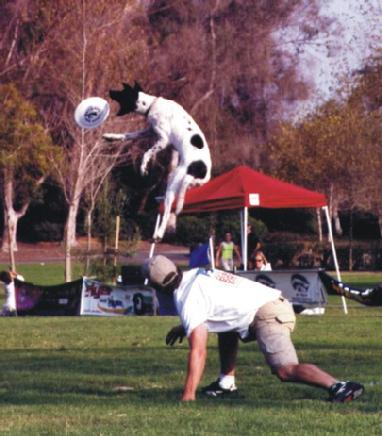 frisbee dog competitions
